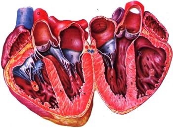 Пенсионеру заменили сердечный клапан через крохотный разрез на… ноге