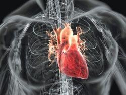 Сердце новорожденных способно к регенерации
