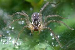 Яд паука вылечит болезни сердца?