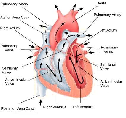 Количественный эффект статинов на содержание холестерина липопротеидов низкой плотности, риск развития ишемической болезни сердца и инсультов (систематический обзор и мета–анализ)