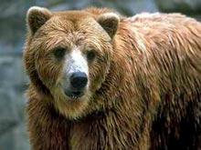 Медведи — новый ключ к излечению для сердечников