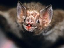 Летучие мыши-кровопийцы защитят пациентов, перенесших инсульт
