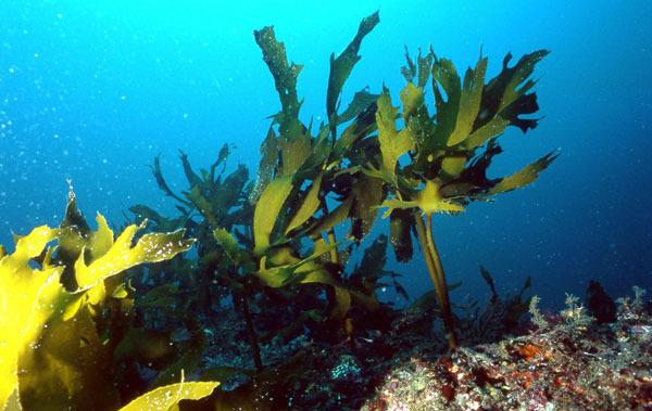 Для здоровья сердца полезны морские водоросли