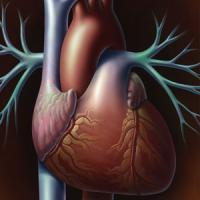 Рубцы после инфаркта защищают сердце от дальнейших повреждений