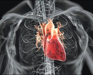 Антиоксидант защищает человека от болезней сердца