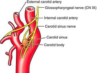С гипертонией предложили бороться «выключением» каротидной железы
