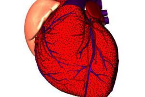 Человеческое сердце способно чувствовать запахи