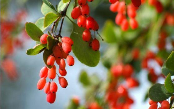 Какая ягода помогает предотвратить развитие рака и благотворно влияет на сердце