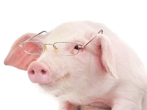 Сердце свиньи смогут пересадить человеку