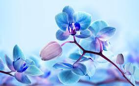 Милый башмачок богини любви — орхидея.