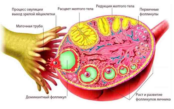 Мультифолликулярные яичники: что это такое, особенности, возможность забеременеть