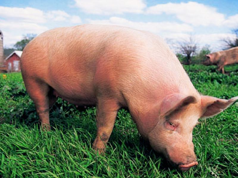 Ученые-медики готовы к пересадке свиных сердец людям