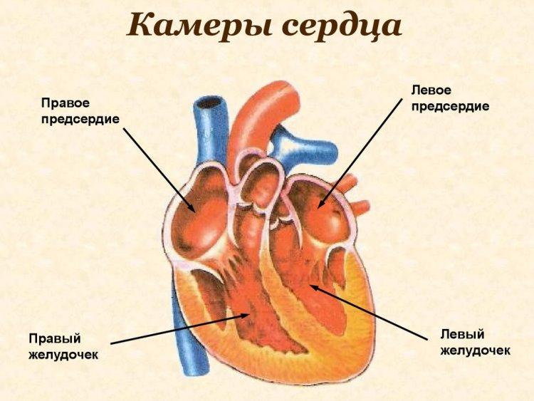 Сердце человека: как все работает