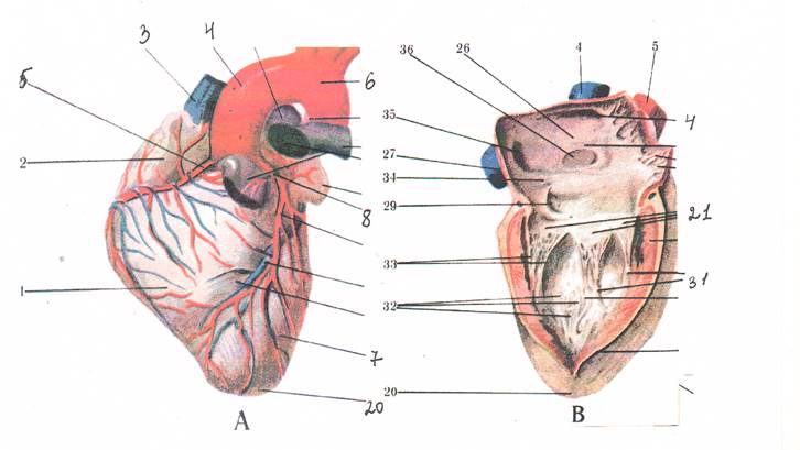 Анатомия и физиология левого предсердия